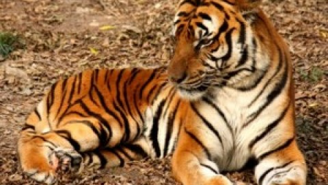 All about India: The Tiger!