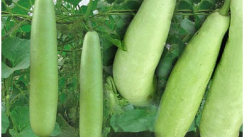 Lauki Love – 7 Amazing Benefits of Bottle Gourd You Didn't Know