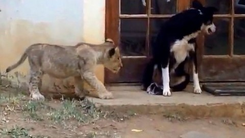Watch How Sneaking Lion Cub Gives Dog The Fright Of Its Life