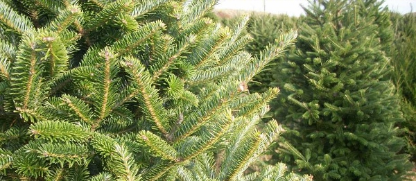 Look For An Evergreen Day  (2)