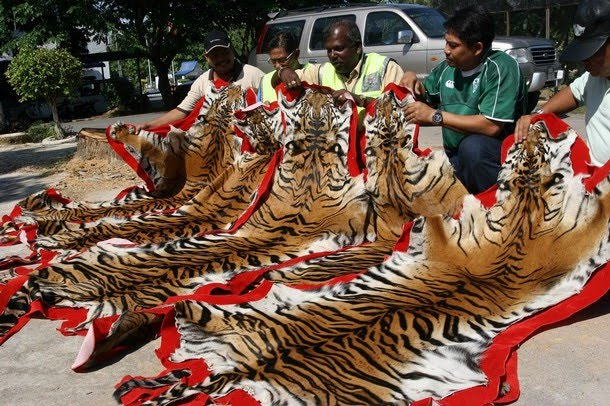 Extinction Of Tigers – A Loss To Ecosystem
