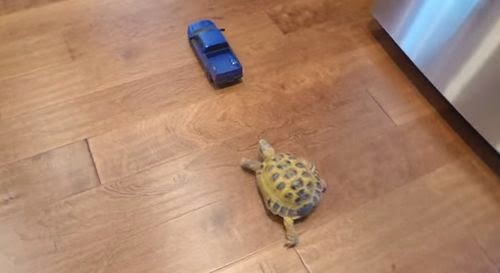 LOL! Watch The High-Speed Chase Of Tortoise vs. Truck