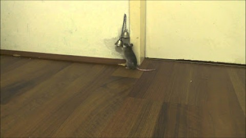 Funny Video : Watch How A Smart Mice Asks To Open The Door