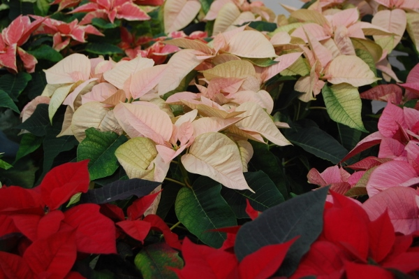 2014 Poinsettia Day Images, Photos, Pictures For Google Plus, Myspace
