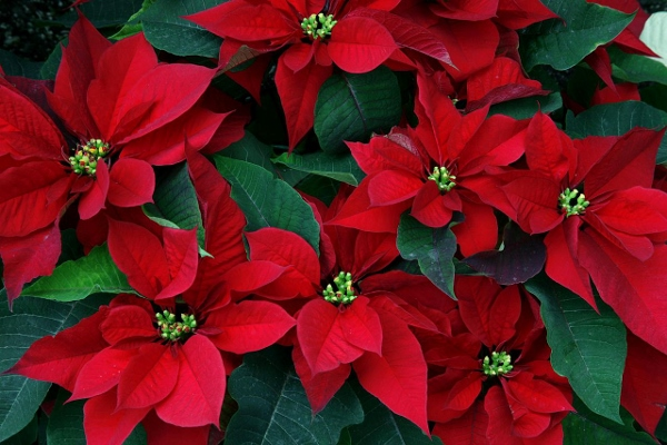 Happy Poinsettia Day 2014 Wallpapers, Images, Wishes For Pinterest, Instagram
