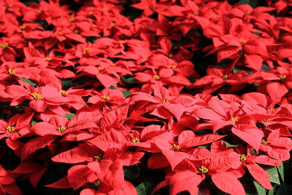 Happy Poinsettia Day 2014 HD Images, Wallpapers For Pinterest, Instagram