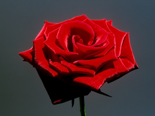 Red Rose Day 2015 Images (5)
